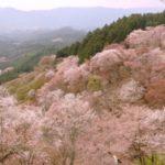 吉野山の桜2019の見頃時期と開花予想!一目千本の満開はいつまで?
