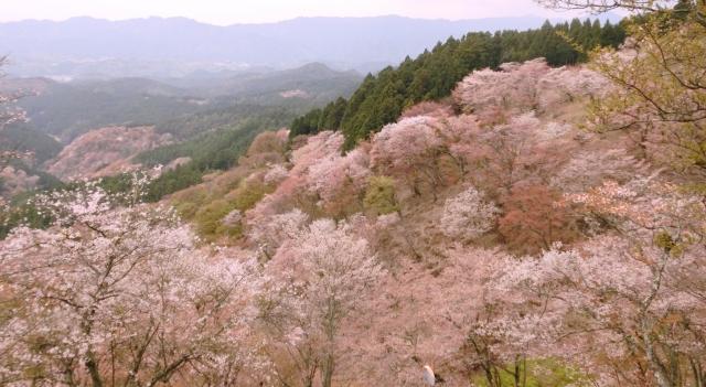 吉野山の桜2020の見頃時期と開花予想!一目千本の満開はいつから?
