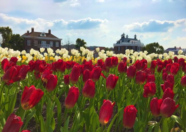 ハウステンボスのチューリップ祭り2020の見頃時期と開花状況!期間と本数情報