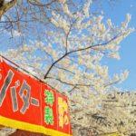 三浦海岸の河津桜2019の屋台出店露店の場所は?おすすめグルメやお土産