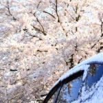 河津桜を車で楽しむドライブコースのおすすめスポットとアクセス方法