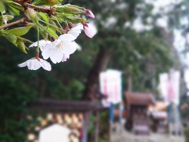 河津桜まつりは天気が雨でも開催?夜のライトアップは見えるか調査