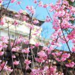 大阪城公園の梅林2019の見頃時期と開花状況!夜のライトアップ情報