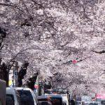目黒川の桜花見2019のアクセスマップや最寄り駅からのルート、駐車場情報