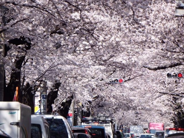 角館桜祭り2019の混雑や渋滞回避と交通規制情報、駐車場の混み具合