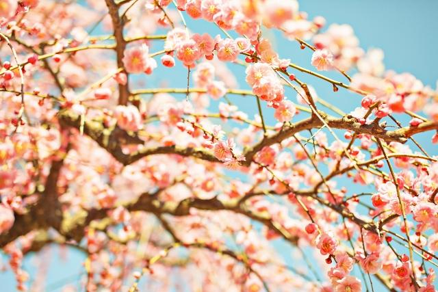 偕楽園梅まつり2020の見頃時期と現在の開花情報!お土産、ライトアップ