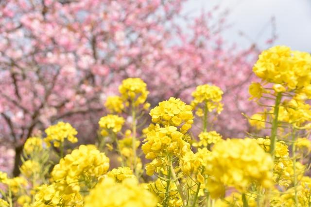 河津桜2020の神奈川名所!見頃時期と開花満開予想、ライトアップ情報