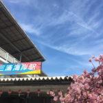 三浦海岸桜まつり2019の見頃はいつまで?開花状況と混雑、屋台出店情報