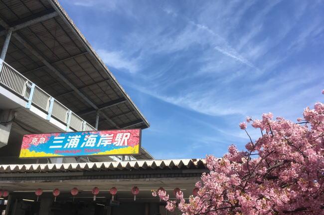 三浦海岸桜まつり2020の見頃はいつからいつまで?日程と現在の開花状況