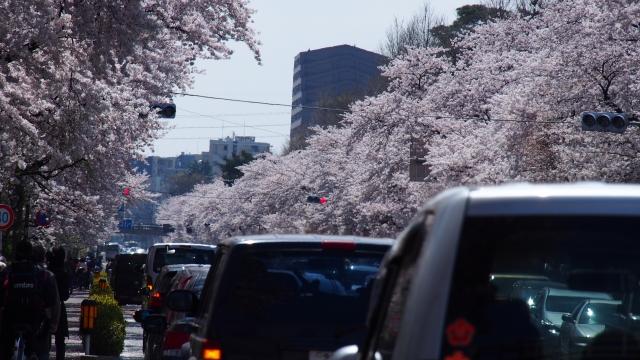 三浦海岸の河津桜2020の駐車場や会場までの行き方、アクセス方法