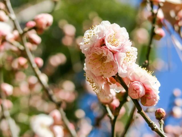 新宿御苑の桜2019の混雑や渋滞と桜を見る会開催に伴う入場規制情報