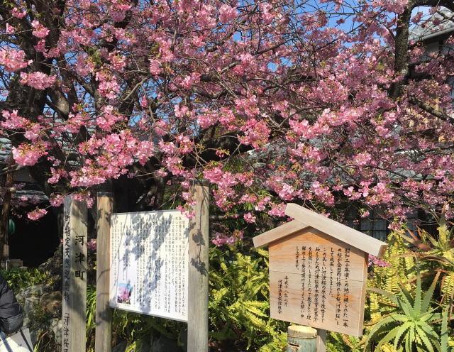 河津桜の原木の住所はどこ?場所や行き方を地図マップで解説