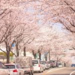 五条川桜祭りの花見2019の混雑や場所取りの注意事項、駐車場の混み具合