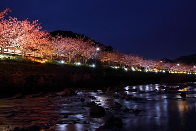 河津桜2020の夜桜ライトアップが見れるおすすめの場所と行き方