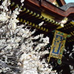 北野天満宮梅まつり2019の見頃時期と現在の開花状況やライトアップ