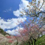 筑波山梅まつり2019の見頃はいつからいつまで?開花とライトアップ