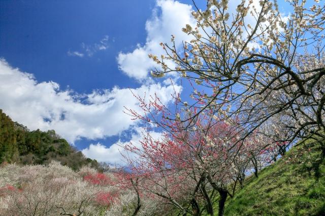 筑波山梅まつり2020の見頃はいつまで?現在の開花状況とライトアップ情報