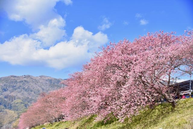 河津桜2020の静岡伊豆名所!見頃時期と開花満開予想、ライトアップ情報