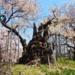 山高神代桜の花見2019の見頃と開花予想!アクセスや駐車場の場所、混雑