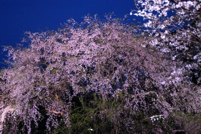 六義園の夜桜ライトアップ