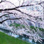 山崎川の桜花見2019のライトアップ時間!見頃満開時期や開花情報と屋台出店、混雑