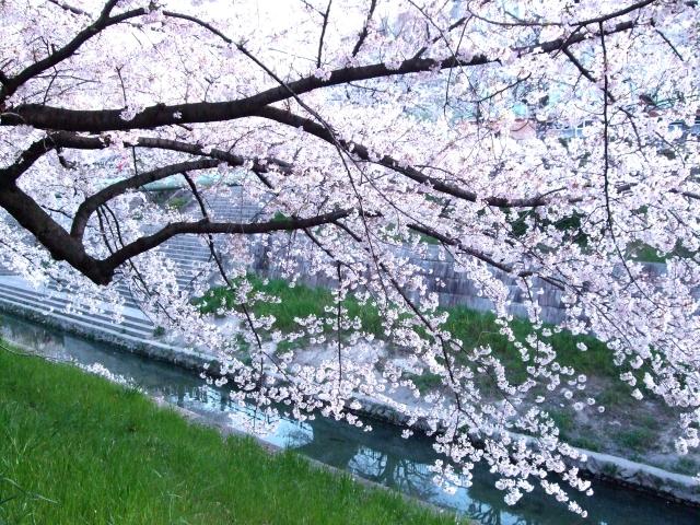 山崎川の桜花見2019のライトアップ時間!見頃満開時期と開花情報、屋台出店、混雑