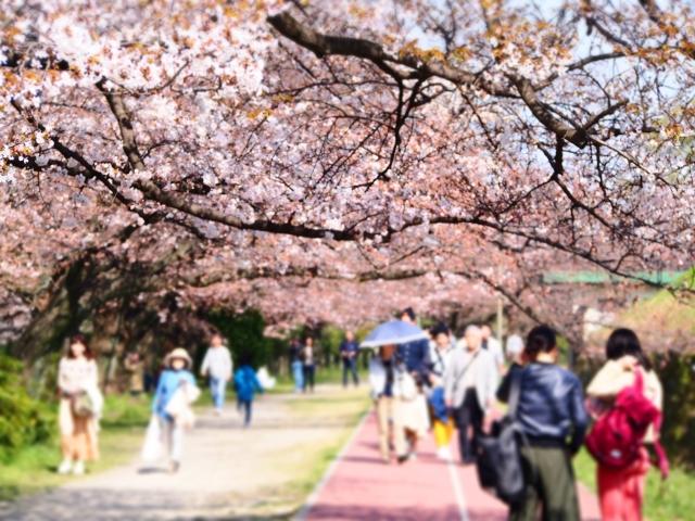 岡崎公園桜祭りの花見2019の混雑や場所取りの時間、駐車場の混み具合