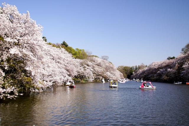 井の頭公園の桜花見2020の見頃はいつから?開花満開予想とライトアップ情報