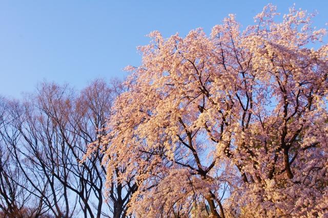六義園の桜花見2019の見頃時期と開花状況!混雑やライトアップ情報