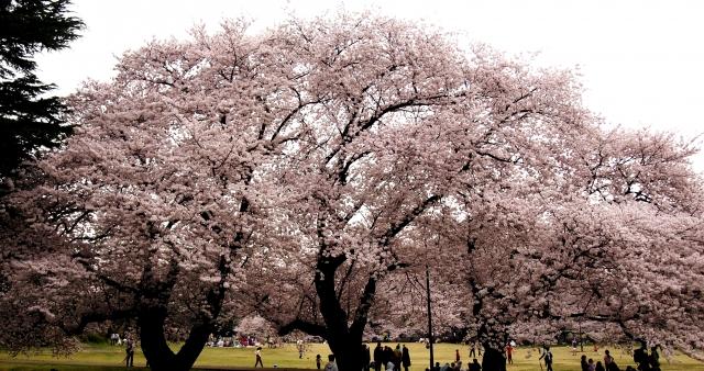 砧公園の桜花見2019の開花状況と見頃、満開時期はいつまで?ライトアップ情報