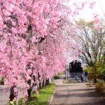 大宮公園桜祭りの花見2019の見頃と開花状況!ライトアップ、駐車場情報