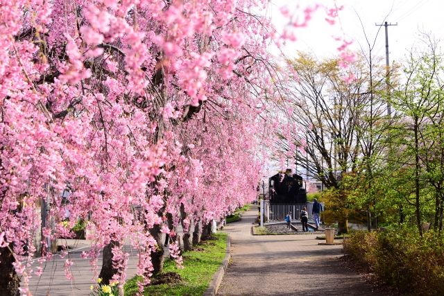 大宮公園桜祭りの花見2020の見頃と開花状況!ライトアップ、駐車場情報