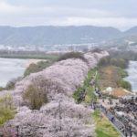 淀川河川公園背割堤地区の桜花見2019の混雑や駐車場の閉鎖、通行止め情報