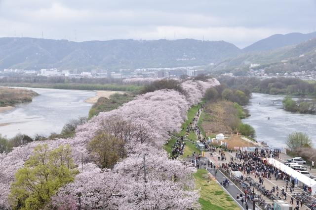 淀川河川公園背割堤地区の桜花見2020の混雑や駐車場の閉鎖、通行止め情報
