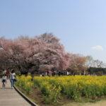 一心行の大桜2019の見頃と開花予想!駐車場と行き方、アクセス情報