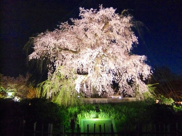 円山公園(京都)の桜花見2019の開花状況と見頃満開時期!ライトアップと屋台出店
