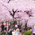 大宮公園桜祭りの花見2019の混雑や場所取り、トイレの行列、待ち時間情報