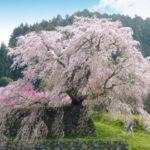 又兵衛桜の花見2019の見頃満開時期と開花状況!ライトアップ情報や混雑状況