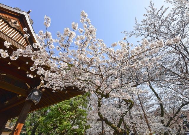 靖国神社の桜花見2020の見頃時期や開花状況!満開予想とライトアップ時間