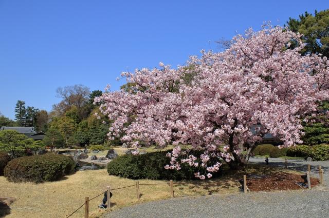 二条城桜まつりの花見2019の見頃時期と開花予想!ライトアップ時間