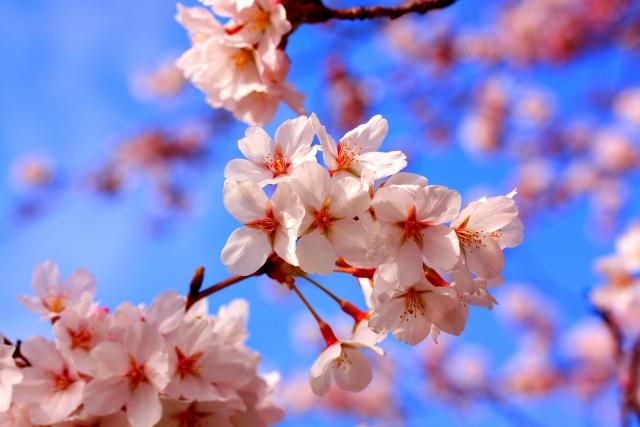 明治神宮外苑の桜花見2019の見頃満開と開花状況!ライトアップや屋台出店、混雑