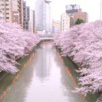 目黒川の桜花見2019の見頃と開花情報!満開予想や混雑、ライトアップ時間