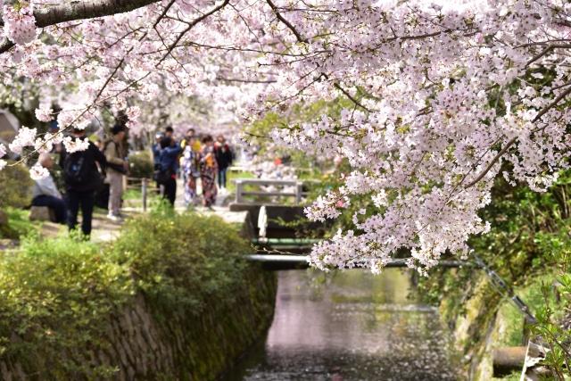 哲学の道の桜2019の見頃満開時期と開花情報!ライトアップや混雑状況