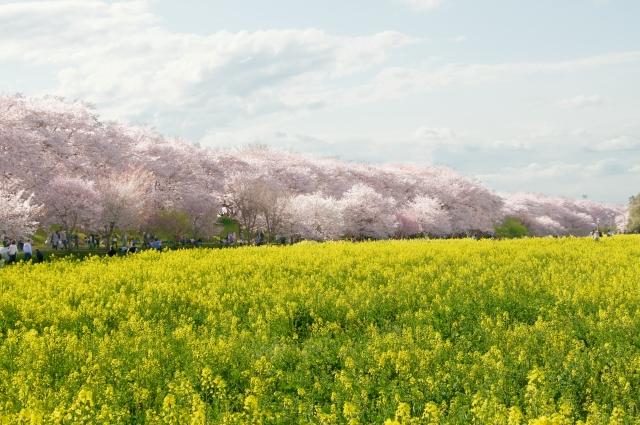 幸手権現堂桜堤の幸手桜まつり2019の見頃と開花状況!満開やライトアップ情報
