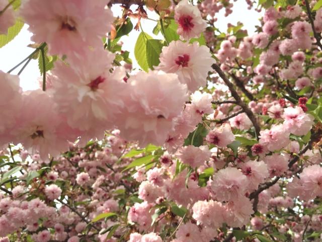 兼六園の桜花見2019の見頃時期と開花満開予想!ライトアップや駐車場、屋台情報