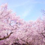 三ツ池公園の桜花見2019の見頃時期と開花状況、満開はいつまで?ライトアップ情報