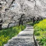 熊谷桜堤の熊谷さくら祭2019の開花状況と見頃情報!駐車場やライトアップ、屋台出店