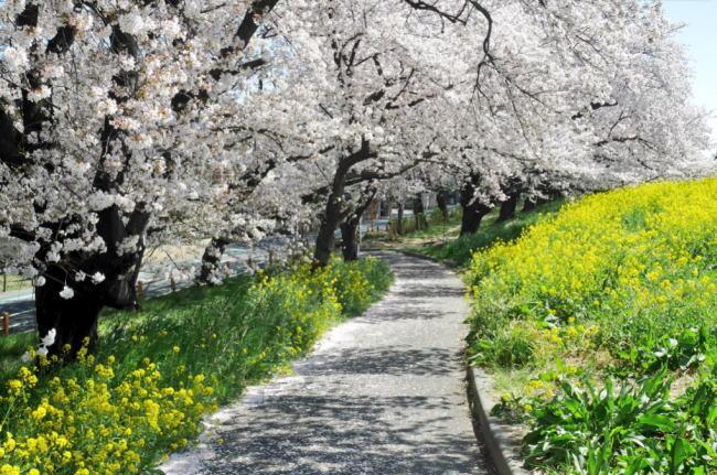 熊谷桜堤の熊谷さくら祭2020の開花状況と見頃情報!駐車場やライトアップ、屋台出店