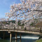 嵐山の桜花見2019の見頃時期と開花状況、満開はいつまで?ライトアップ情報