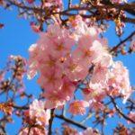 代々木公園の桜花見2019の見頃時期と開花状況、満開はいつまで?ライトアップ情報